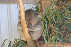 Koala sleeping Royalty Free Stock Photos
