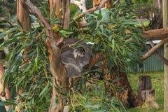 Koala sleeping. In the Australian outback Stock Photo