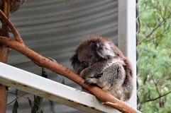 Koala sleeping Stock Images
