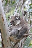 Koala sleeping in eucalyptus tree Royalty Free Stock Photo