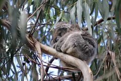 Koala sleeping in eucalyptus tree Stock Photos