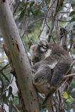 Koala sleeping in eucalyptus tree. Australian Koala Bear sleeping in eucalyptus tree royalty free stock images