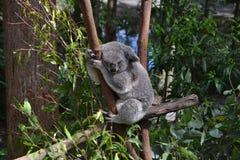 Koala sleeping on eucalyptus tree royalty free stock images