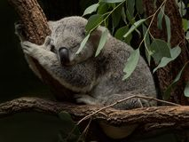 Koala sleeping among Gum Leaves. Grey koala sleeping among gum leaves. Peaceful koala asleep in tree in soft light. Australian icon. Light grey koala in tree stock photos