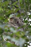 Koala sleeping on a gum tree. In Rainforest in Queensland, Australia royalty free stock photos