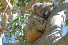 Koala. A koala sleeping in a gum tree at Noosa, Queensland, Australia royalty free stock photo