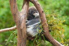 Koala Sleeping In A Tree Stock Image