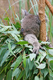 Koala Sleeping in a Tree Stock Photos