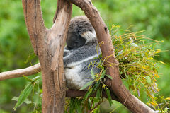 Koala sleeping in a tree Stock Image