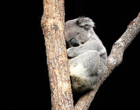 Koala Sleeping in Tree Royalty Free Stock Images
