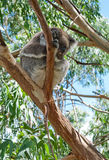 Koala sleeping on a tree Stock Photo