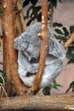 Koala sleeping in a  tree Royalty Free Stock Images