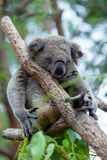 Koala sleeping Stock Photos