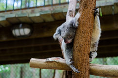 Koala sleeping on a tree branch Royalty Free Stock Images