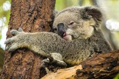 Koala sleeping on a tree Stock Images