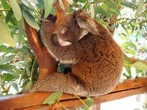 Koala sleeping on a tree Stock Photos