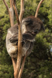 Koala sleeping on tree Stock Photo