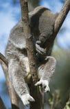 Koala sleeping in a tree. Sleepy koala in tree on a sunny day Royalty Free Stock Photography