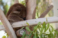 Koala sleeping in a tree at the zoo. In Israel Stock Images