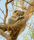 Koala is sleeping ,Victoria, Australia. Forest in a national park of Victoria, Australia stock photography