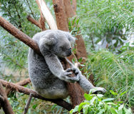 Koala sleeps in a eucalyptus tree Stock Image