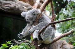 Koala sleeps in a eucalyptus tree. A koala sleeps in a eucalyptus tree. This adorable Australian marsupial is asleep stock images