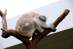Koala sleeps in a eucalyptus tree Stock Photo