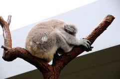 Koala sleeps in a eucalyptus tree. A koala sleeps in a eucalyptus tree. This adorable Australian marsupial is asleep stock photo