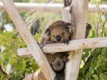 Koala sleeps on felled trees in Gan Guru kangaroo park in Kibutz Stock Photography