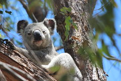 Koala Smirking Foto de Stock Royalty Free