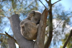 Koala Snoozing in the Sun. A sleepy cuddly koala taking a snooze in the the fork of a eucalyptus tree in sunny Rockhampton Queensland bear gum leaves mammal Stock Photography