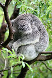 Koala snoozing in a tree Stock Photos