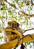 Koala soñolienta en el árbol Imagen de archivo