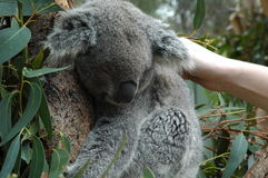 Koala soñoliento Fotos de archivo