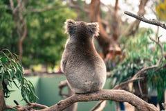 Koala sola Imágenes de archivo libres de regalías