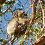 Koala som äter i eukalyptusträd Arkivbilder