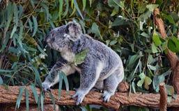 Koala som går på en trädfilial Arkivbilder