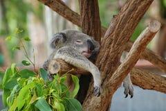 Koala som hänger i träd medan he& x27; sova för s royaltyfria bilder