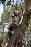 Koala som klättrar ett eukalyptusträd Arkivfoton