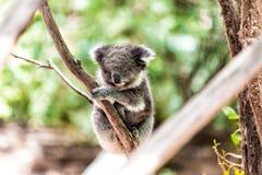 Koala som kopplar av i ett träd, Australien royaltyfri foto