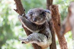Koala som kopplar av i ett träd, Australien Närbild royaltyfria bilder