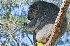 Koala som kopplar av på ett träd Arkivbilder