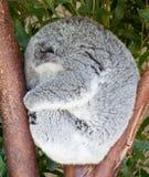 Koala som krullas upp att sova i träd fotografering för bildbyråer