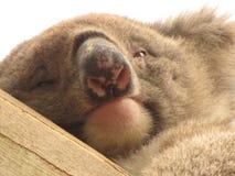 Koala som precis vaknar upp i trädgårdträdgård royaltyfri fotografi