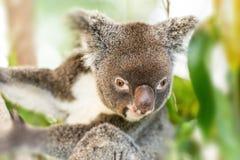 Koala som sätta sig i en eukalyptusträd Fotografering för Bildbyråer