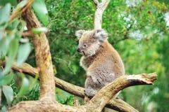 Koala som sitter i träd med naturlig bakgrund fotografering för bildbyråer