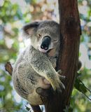 Koala som sovande in krullas upp träd royaltyfri bild