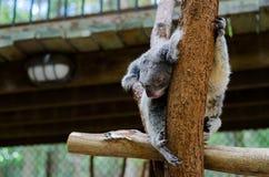 Koala som sovar på en treefilial Royaltyfria Bilder