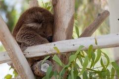 Koala som sover i ett träd på zoo Arkivbilder