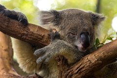 Koala som sover på ett träd Fotografering för Bildbyråer